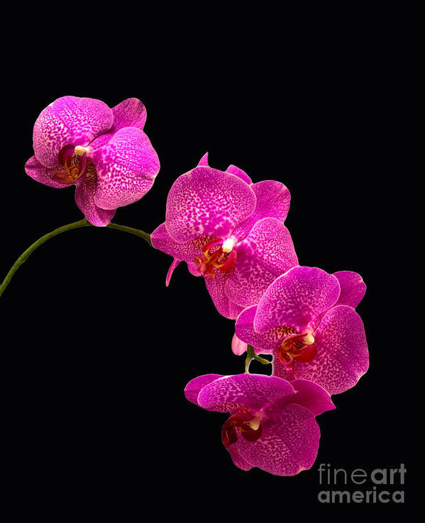 Orchid Poster featuring the pyrography Simply Beautiful Purple Orchids by Michael Waters