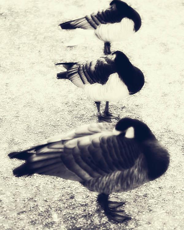 Ducks Poster featuring the photograph Sleeping Ducks by Joana Kruse