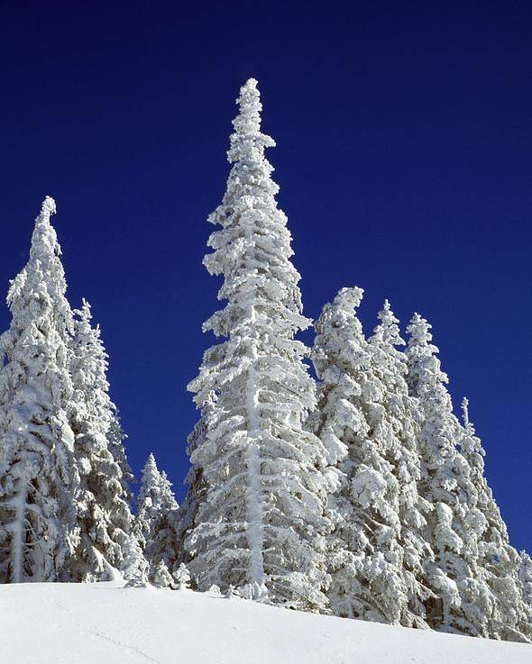 Frozen Poster featuring the photograph Snow-covered Pine Trees by Natural Selection Craig Tuttle