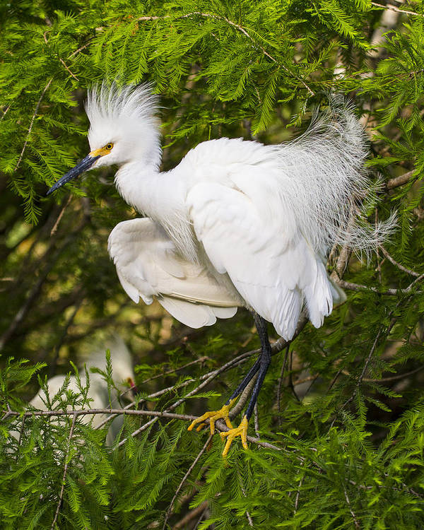Snowy Egret Poster featuring the photograph Snowy Egret In Breeding Plumage by Bill Swindaman