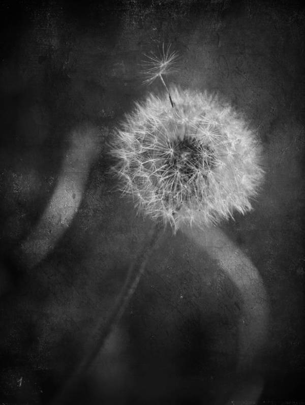 Dandelions Poster featuring the photograph So Many Promises You Couldn't Keep by Laurie Search