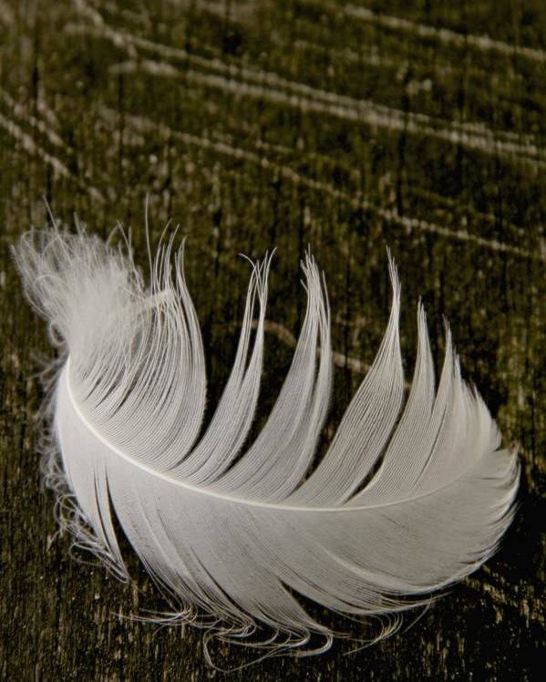 Feather Poster featuring the photograph Soft Curve One by Odd Jeppesen