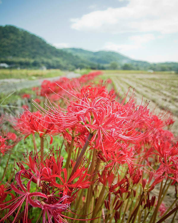 Vertical Poster featuring the photograph Spider Lily by Yoshika Sakai