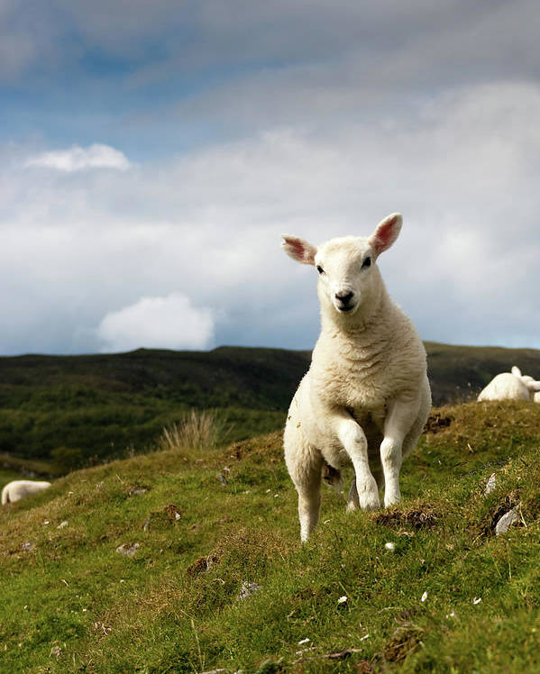 Vertical Poster featuring the photograph Spring Lamb On Hillside by Kevin Day