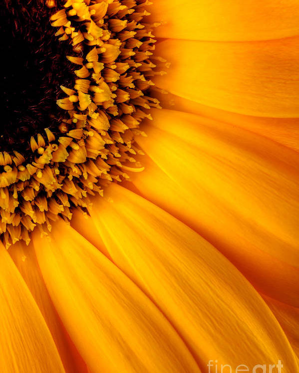 Sunflower Poster featuring the photograph Sun Burst - Sunflower by Martin Williams