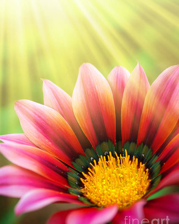 Spring Poster featuring the photograph Sunny Daisy by Carlos Caetano