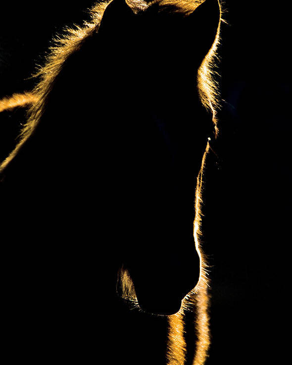Sunset Poster featuring the digital art Sunset Horse Silhouette Canada by Mark Duffy
