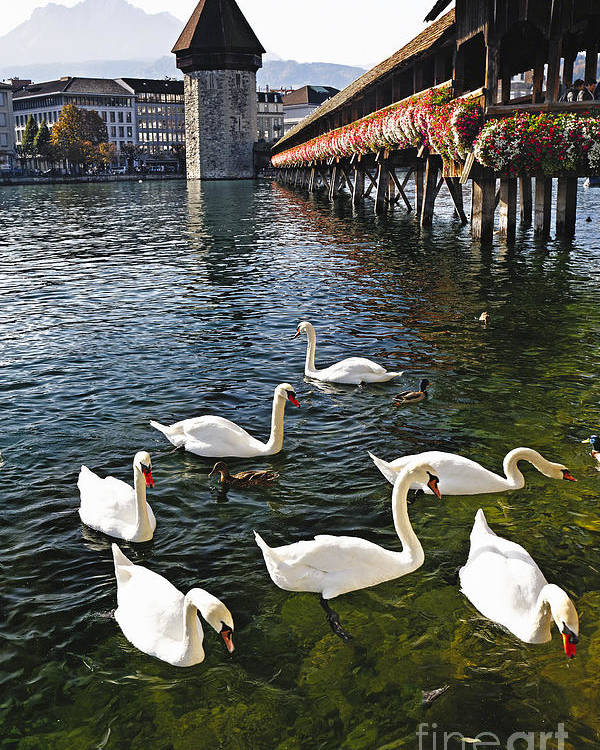Europe Poster featuring the photograph Swans Of The Chapel Bridge by George Oze