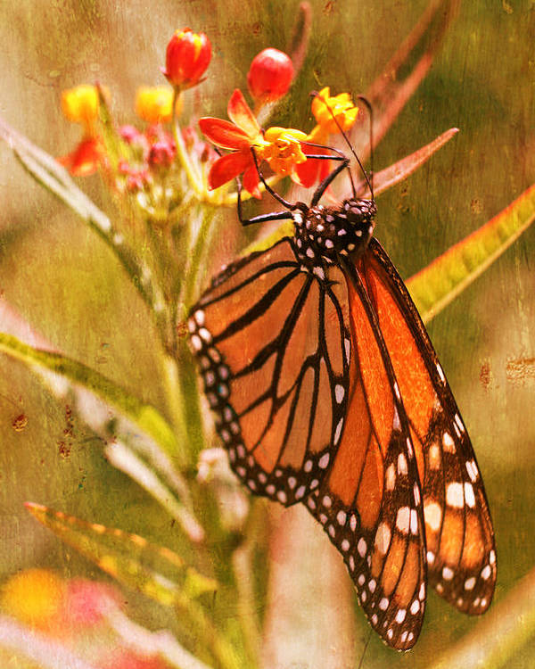 Monarch Poster featuring the photograph The Beauty Of A Butterfly by Heidi Smith