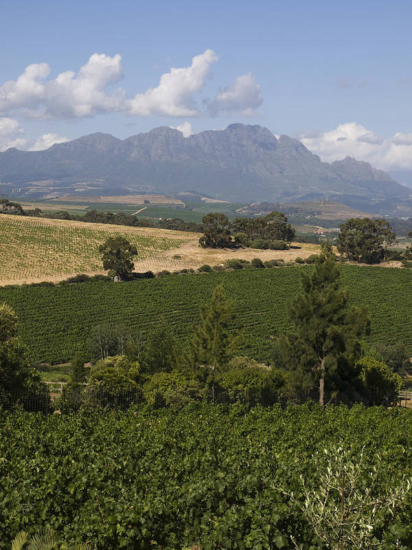 Stellenbosch Poster featuring the photograph The Lush Garden Landscape Of A Vineyard by Stacy Gold