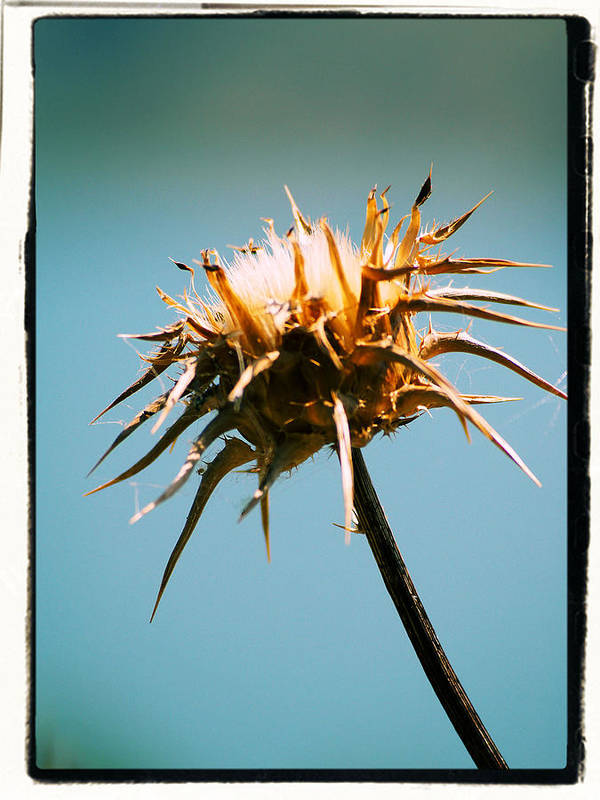 Thistle Poster featuring the photograph Thistle by Brian Grady