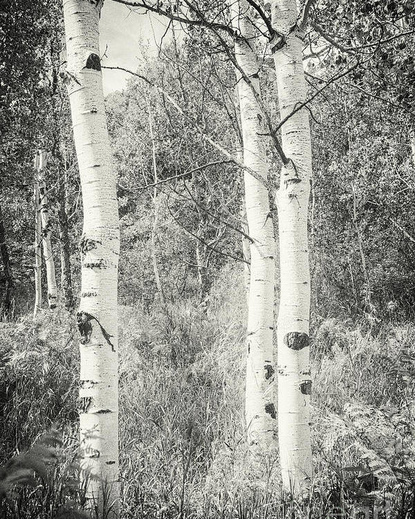 Aspen Trees Poster featuring the photograph Three Aspen Trees by David Waldrop