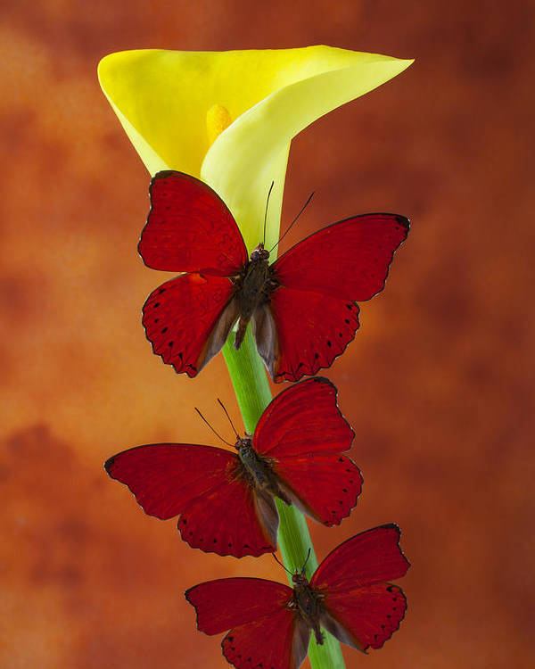 Yellow Poster featuring the glass art Three Red Butterflies On Calla Lily by Garry Gay