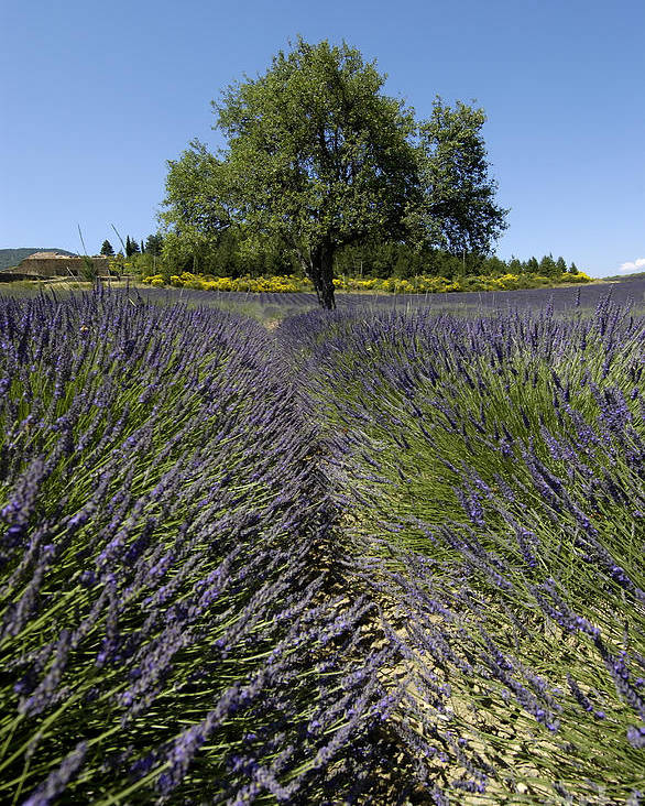 Field Poster featuring the photograph Tree In A Field Of Lavender. Provence by Bernard Jaubert