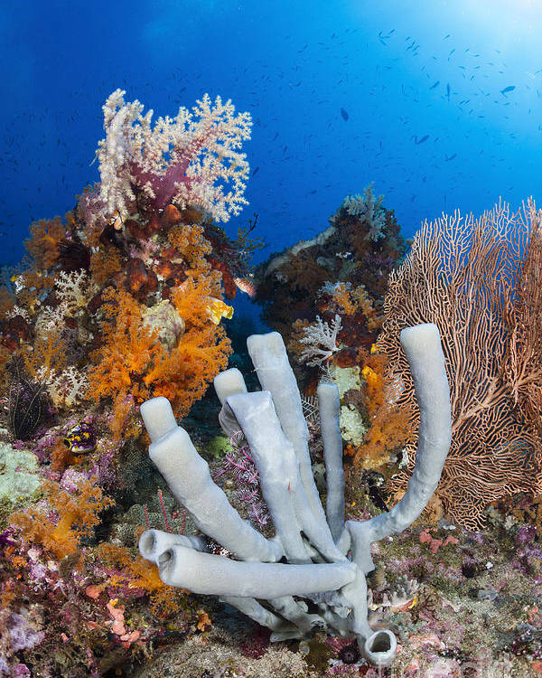 Raja Ampat Poster featuring the photograph Tube Sponge On Coral Reef In Raja by Todd Winner