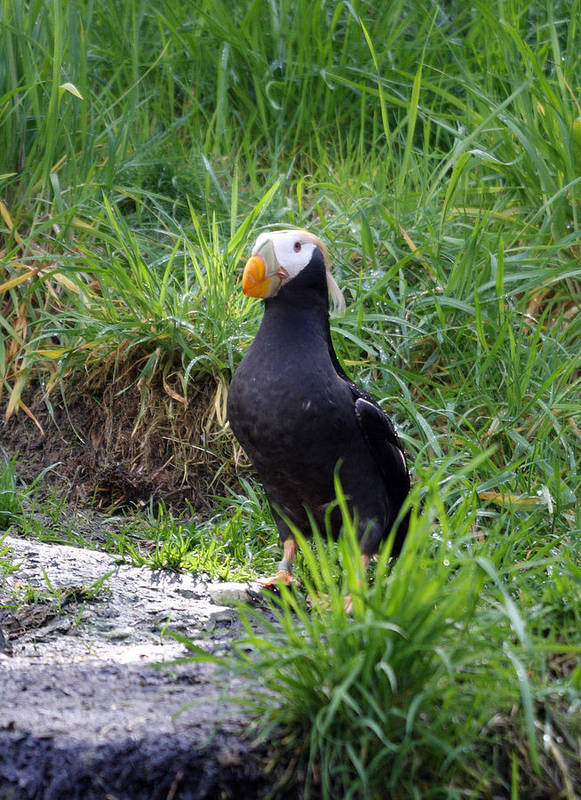 Point Defiance Poster featuring the photograph Tufted Puffin - 0026 by S and S Photo