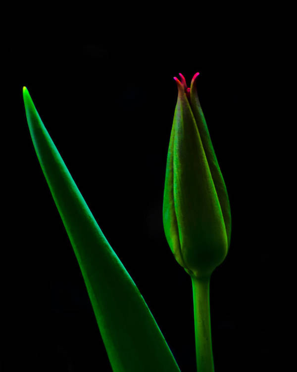Tulip Poster featuring the photograph Tulip by Brian Mollenkopf