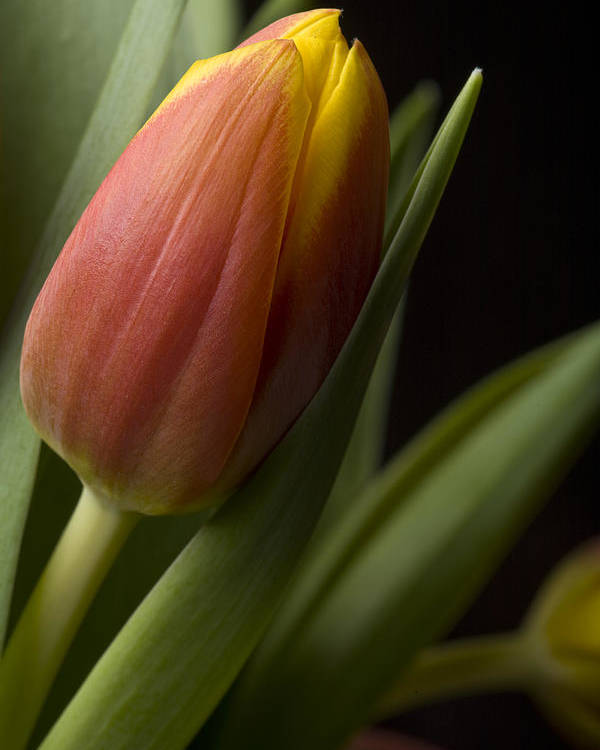 Poster featuring the photograph Tulip On Black by Al Hurley
