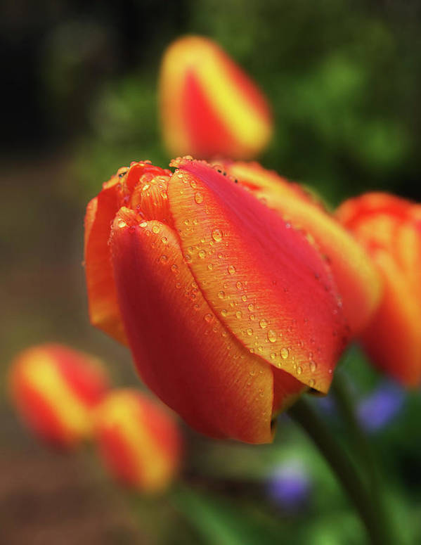 Vertical Poster featuring the photograph Tulips And Raindrops by colorcarnival (Michelle White)