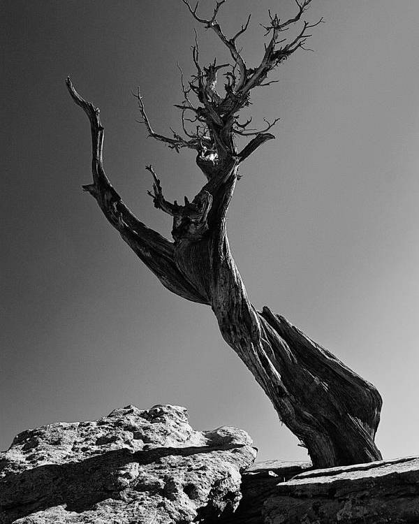 Colorado Poster featuring the photograph Twisted Juniper by Don Metz
