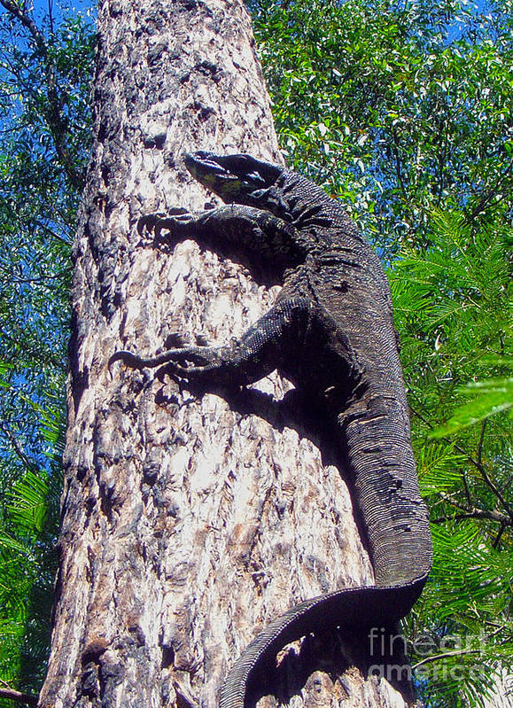 Goanna Poster featuring the photograph Up Ya Go by Joanne Kocwin