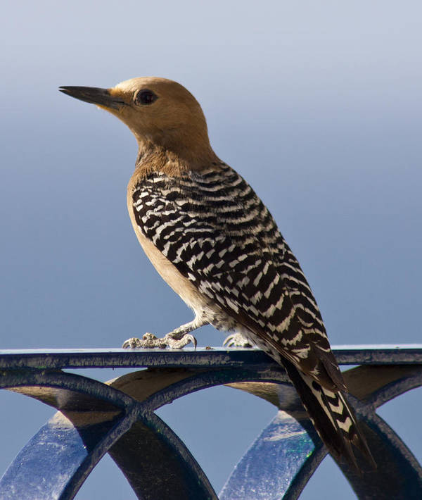 Woodpecker Poster featuring the photograph Veranda Visitor by Will Cornell