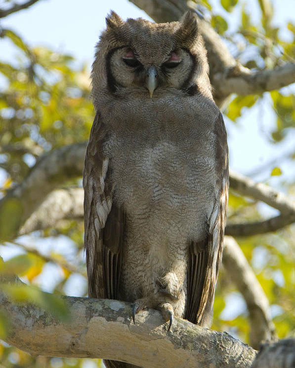 Verreaux's Eagle-owl Poster featuring the photograph Verreauxs Eagle Owl, Bubo Lacteus, Or by Paul Sutherland