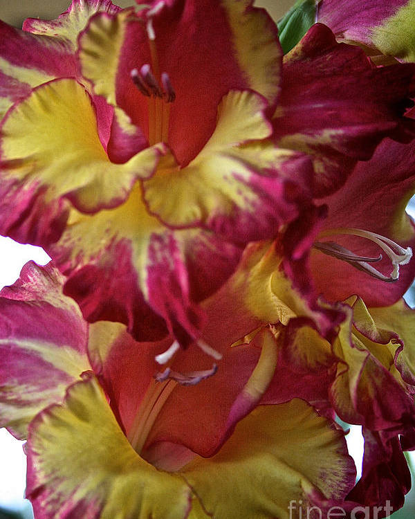 Outdoors Poster featuring the photograph Vibrant Gladiolus by Susan Herber
