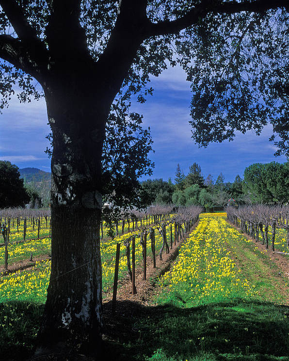 Landscapes Poster featuring the photograph Vineyard View by Kathy Yates