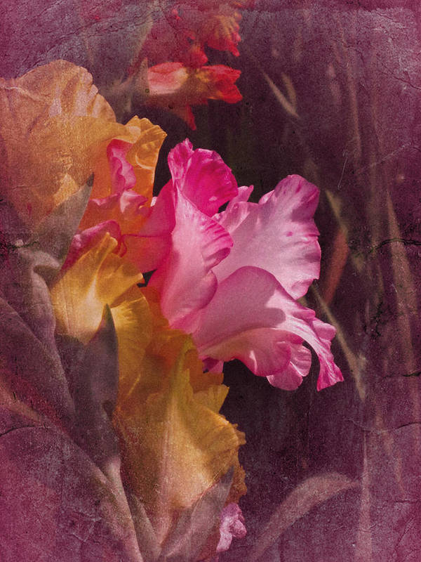 Gladiolas Poster featuring the photograph Vintage Gladiolas by Richard Cummings