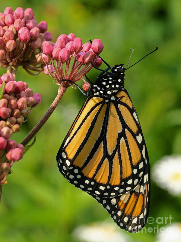 Monarch Poster featuring the photograph Waiting To Flower by Steve Augustin
