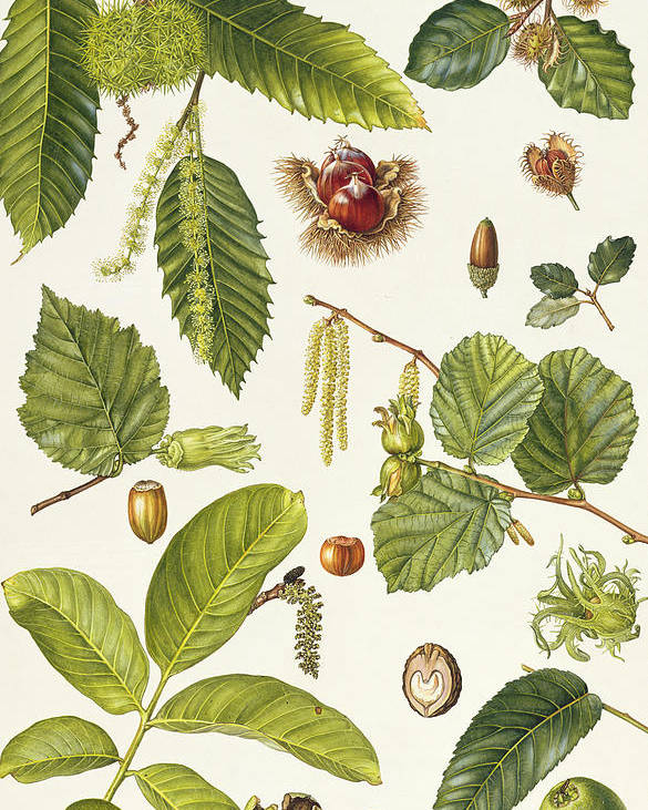 Sweet Chestnut; Beech; Cork Oak; Filbert; Hazel; Catkin; Husk; Acorn; Leaves; Botanical; Nuts Poster featuring the painting Walnut And Other Nut-bearing Trees by Elizabeth Rice