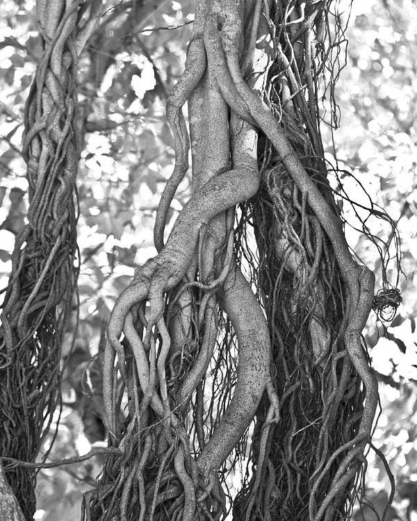 Tree Poster featuring the photograph What Trees Know by Betsy Knapp