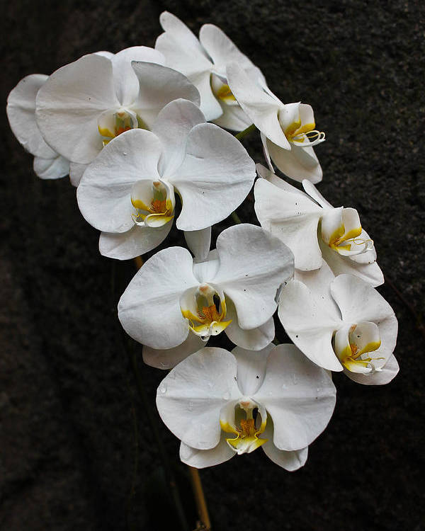 Orchid Poster featuring the photograph White Bliss Orchids by Jan Canavan