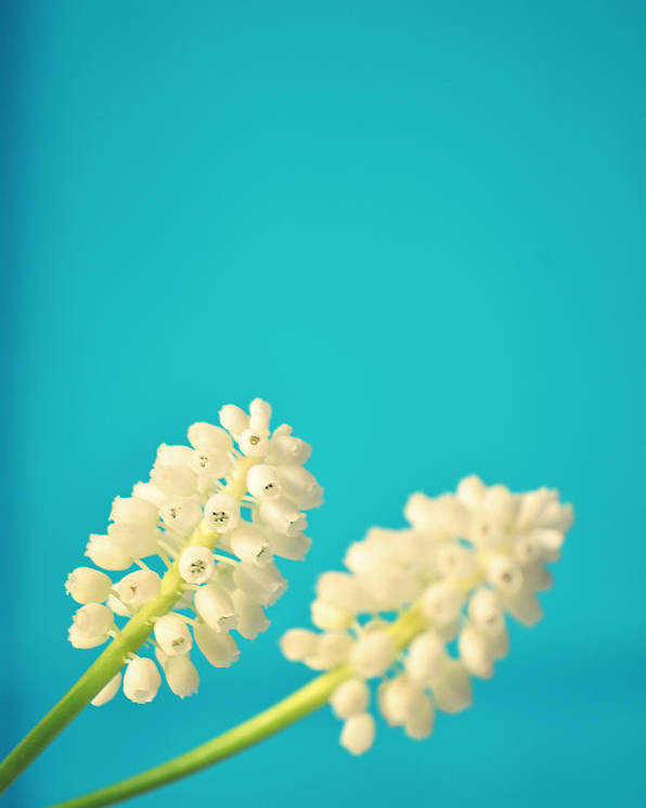 Vertical Poster featuring the photograph White Muscari Flowers by Photo by Ira Heuvelman-Dobrolyubova