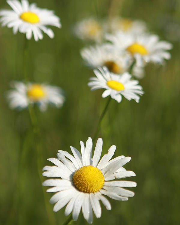 Flowers Poster featuring the photograph Wildflowers by Kathryn Mayhue