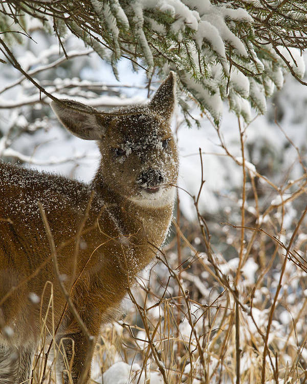 Adult Poster featuring the photograph Winter Dining For A Black-tailed Deer by Tim Grams