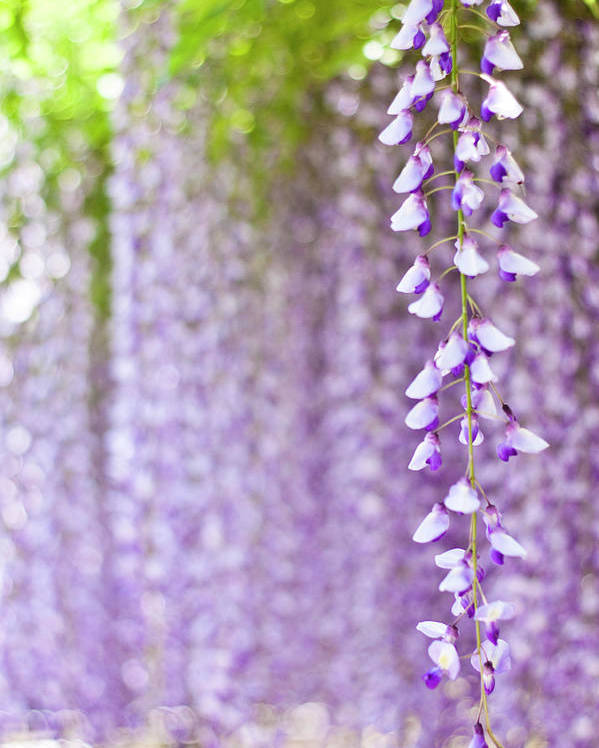 Vertical Poster featuring the photograph Wisteria by Yoshika Sakai