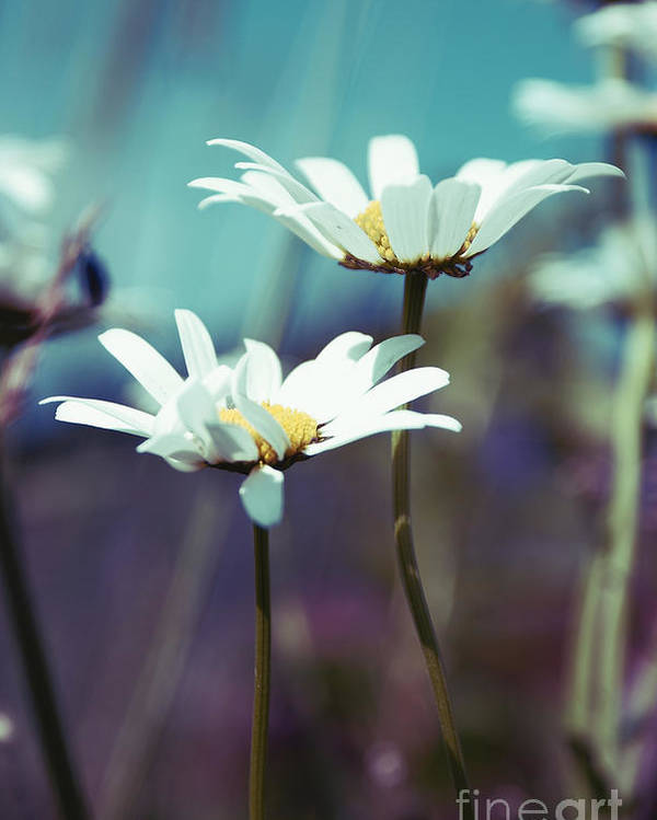 Daisies Poster featuring the photograph Xposed - S02 by Variance Collections