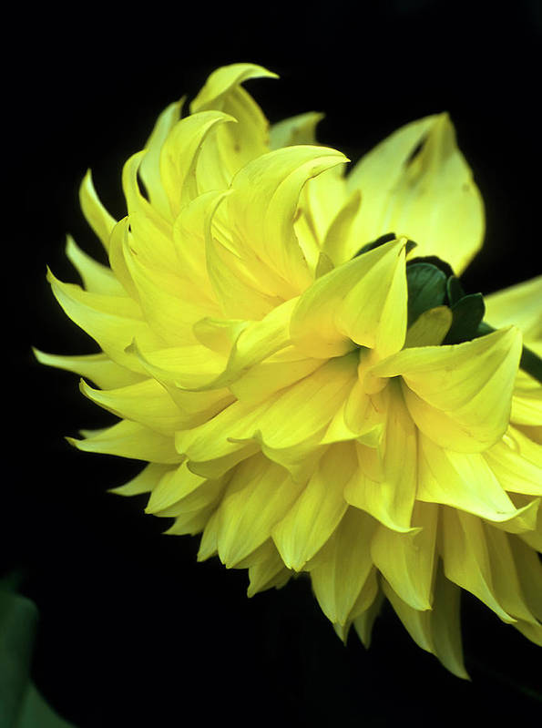 Dahlia Poster featuring the photograph Yellow Dahlia by John Brink
