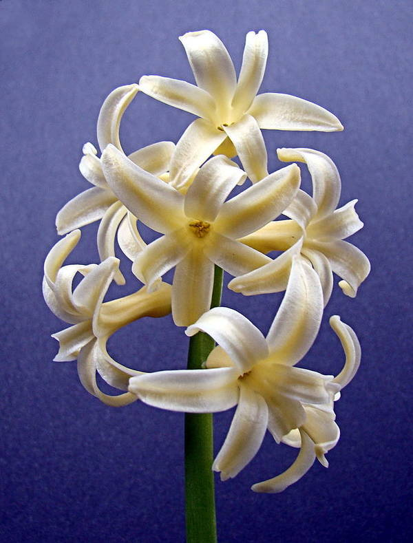 Hyacinth Poster featuring the photograph Yellow Hyacinth by Nick Kloepping