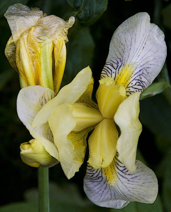 Nature Poster featuring the photograph Yellow Iris by Michael Friedman