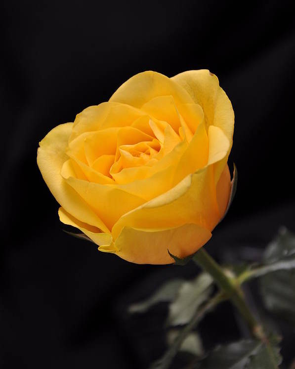 Vertical Poster featuring the photograph Yellow Rose On Black Background by Déco'Style Balexia87