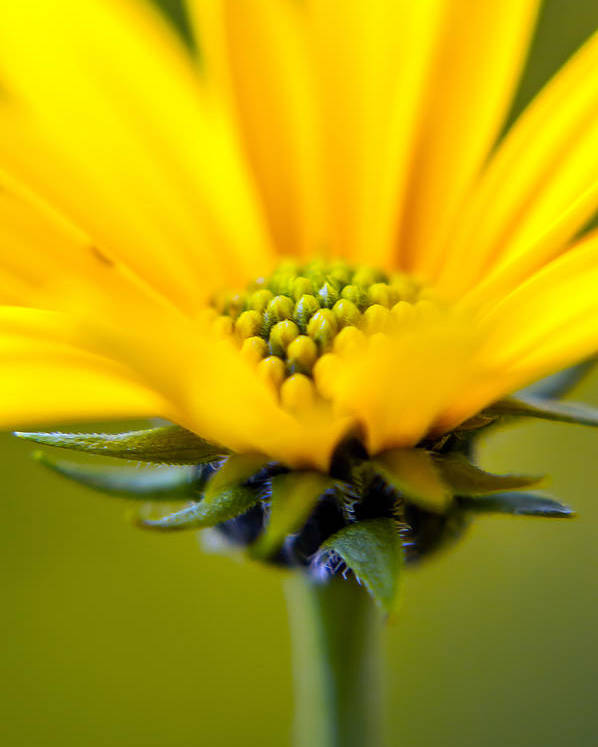 Poster featuring the photograph Yellow Wild Flower - Side by Travis MacDonald