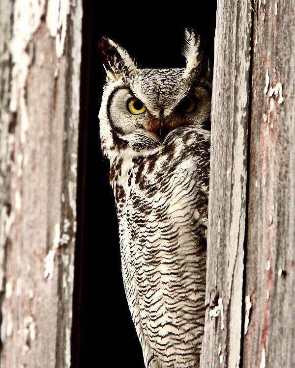 Great Horned Owl Poster featuring the digital art Great Horned Owl Perched In Barn Window by Mark Duffy