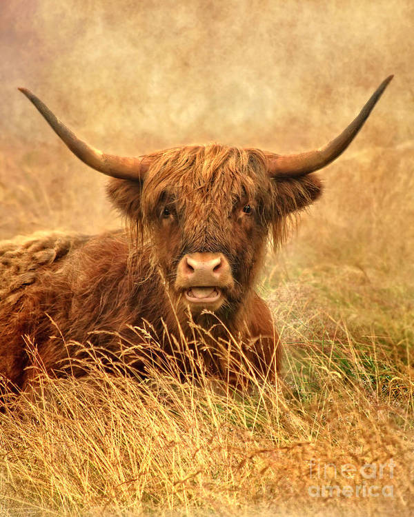Highland Cattle Poster featuring the photograph Happy Highlander by Linsey Williams
