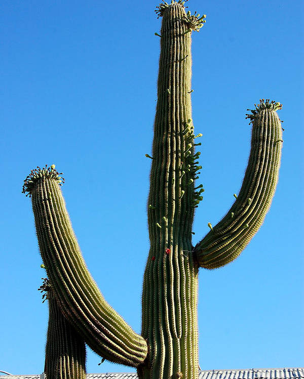 Saguaro Poster featuring the photograph Saguaro by Heather S Huston