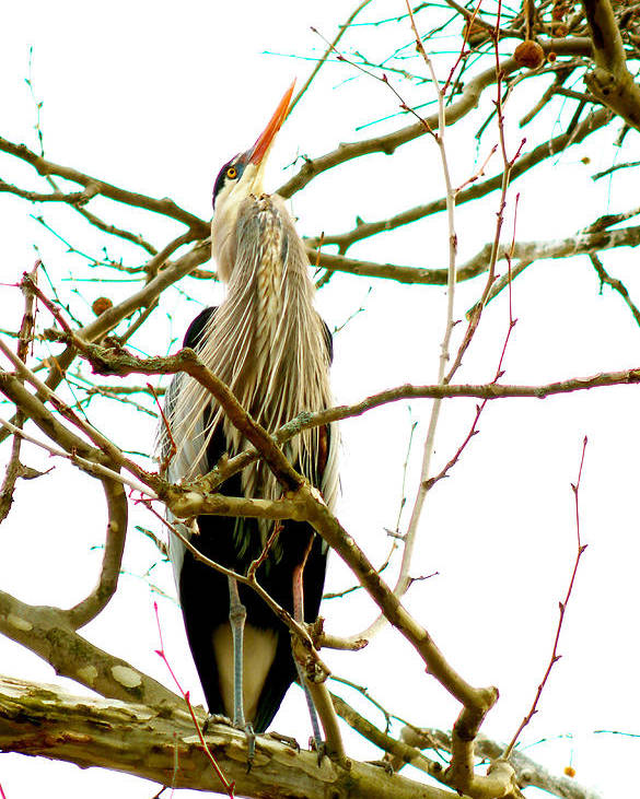 Great Blue Heron Poster featuring the photograph 040111-243 by Mike Davis
