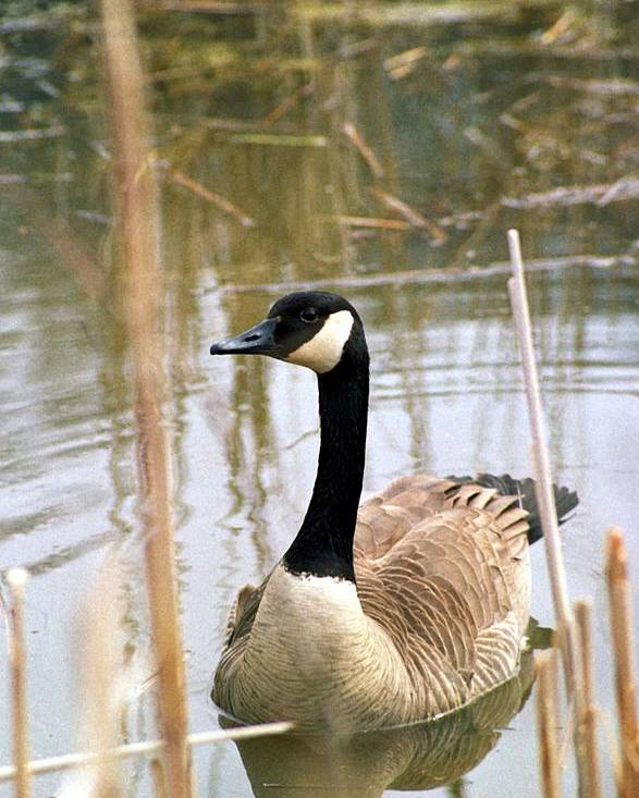 Canada Goose Poster featuring the photograph 070406-41 by Mike Davis