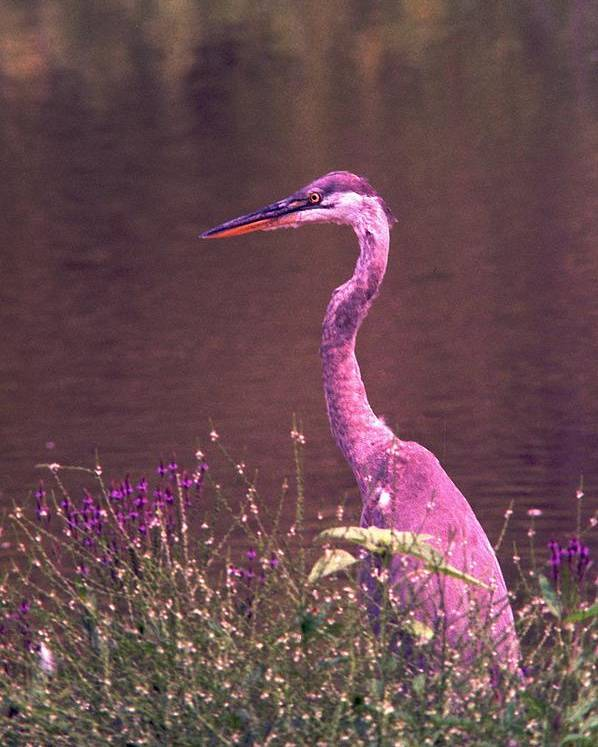 Great Blue Heron Poster featuring the photograph 080706-12 by Mike Davis